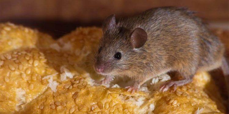 Leptospirosis, contagio por ratas