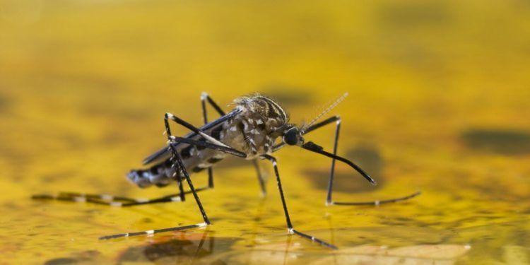 La fiebre amarilla es transmitida por picadura del mosquito Aedes aegypti