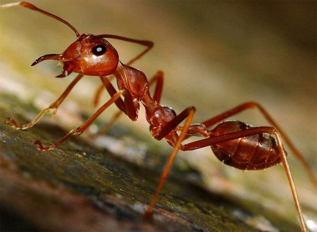 Alergia a picaduras de hormiga roja